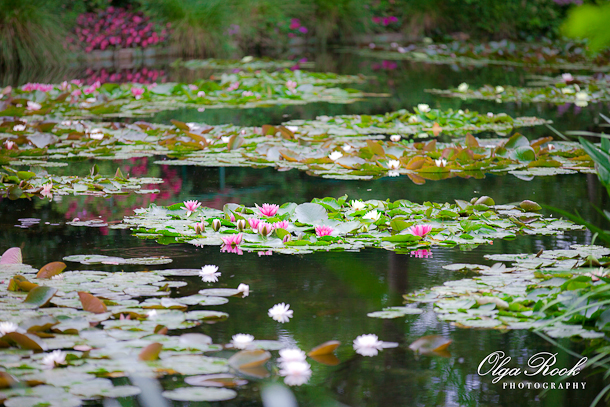 Foto van een vijver vol waterlelies.