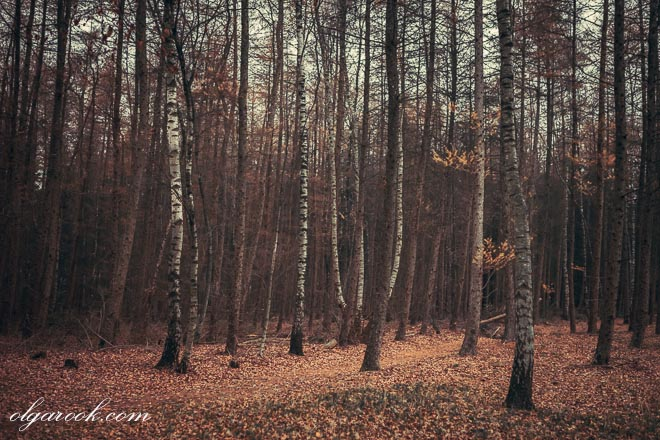 photo of birches in a wood