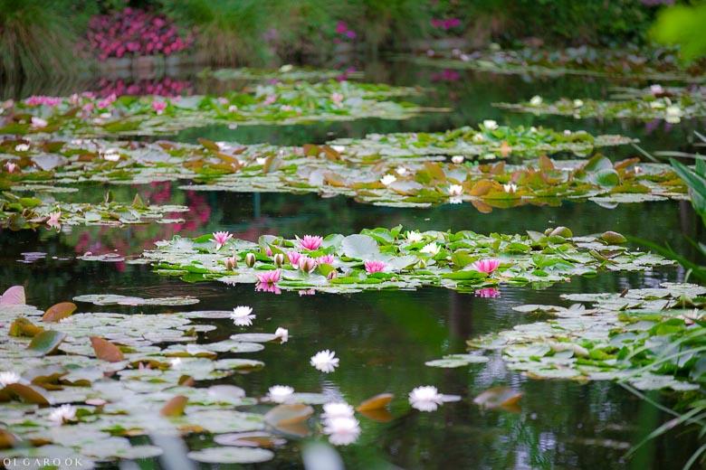 Foto van een vijver vol waterlelies