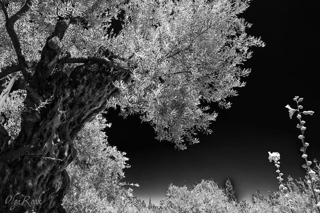 Jerusalem: antieke olijfboom in de Getsemane tuin
