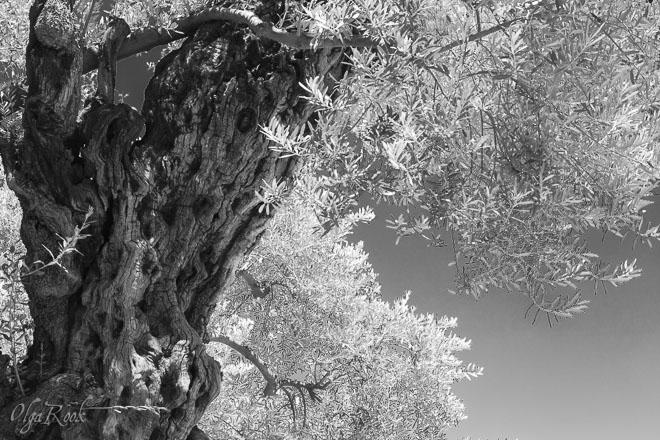 Jerusalem fotografie: oude olijfboom in de Getsemane tuin