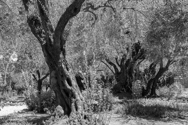 Jerusalem fotografie: Getsemane tuin